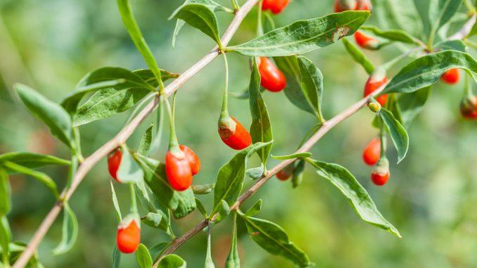 Najzdrowsze owoce świata - jak sadzić jagody goji?